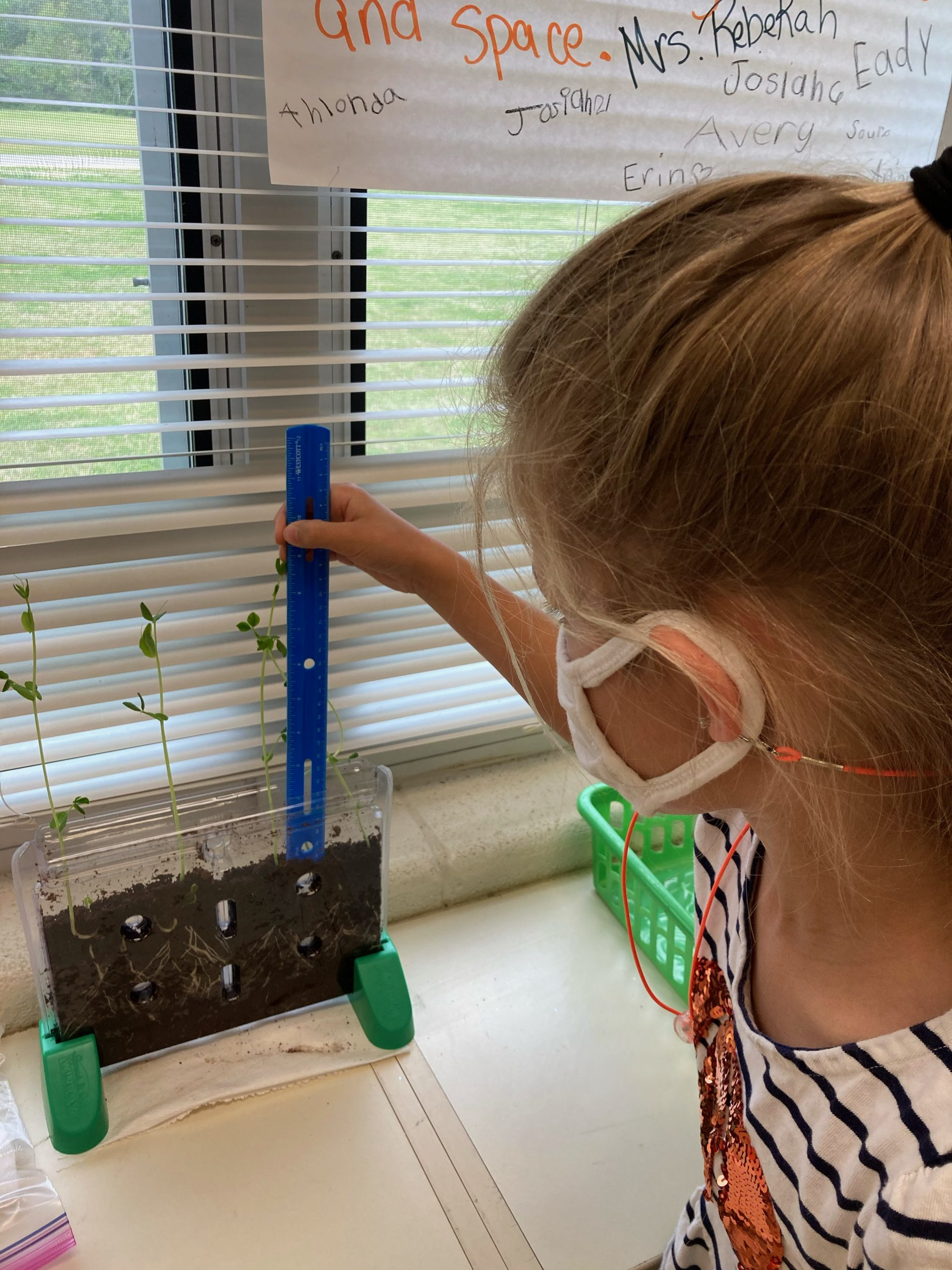 A first grade student measures the plant growth.